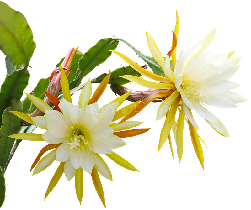 Flor amarilla del epiphyllum fotografía de archivo libre de regalías