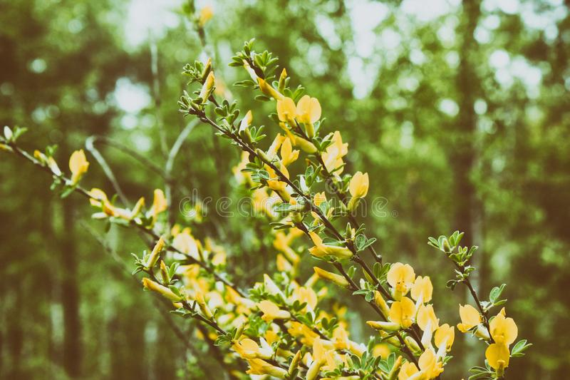 Flor amarilla del greenweed melenudo Pilosa del Genista El pilosa del Genista, conocido com?nmente como greenweed melenudo, silky foto de archivo
