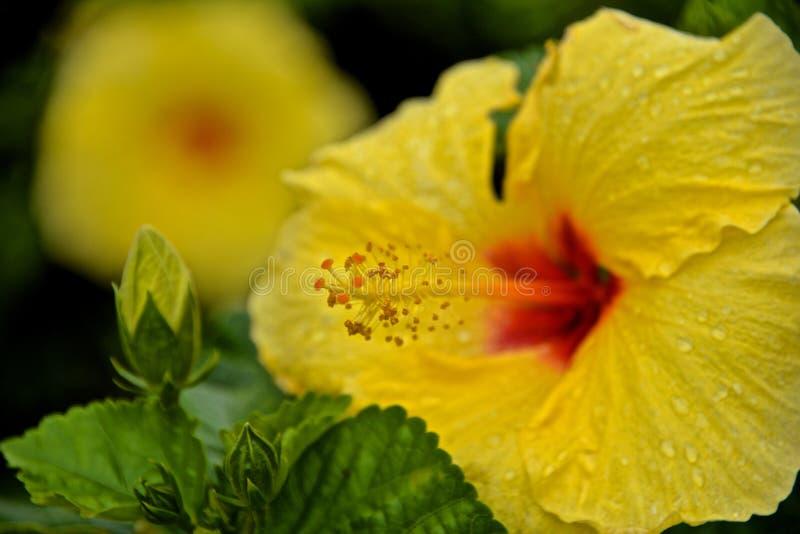 Flor amarilla del hibisco con gotas de lluvia en los pétalos fotos de archivo