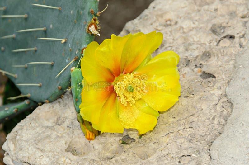Flor amarilla del humifusa de la Opuntia, s-lengua Limba Soacrei del ` del diablo, imágenes de archivo libres de regalías