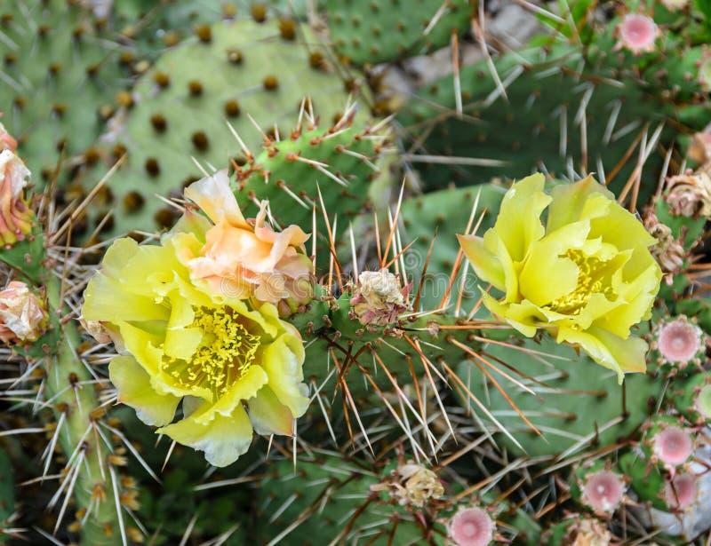 Flor amarilla del humifusa de la Opuntia, s-lengua Limba Soacrei del ` del diablo, foto de archivo libre de regalías