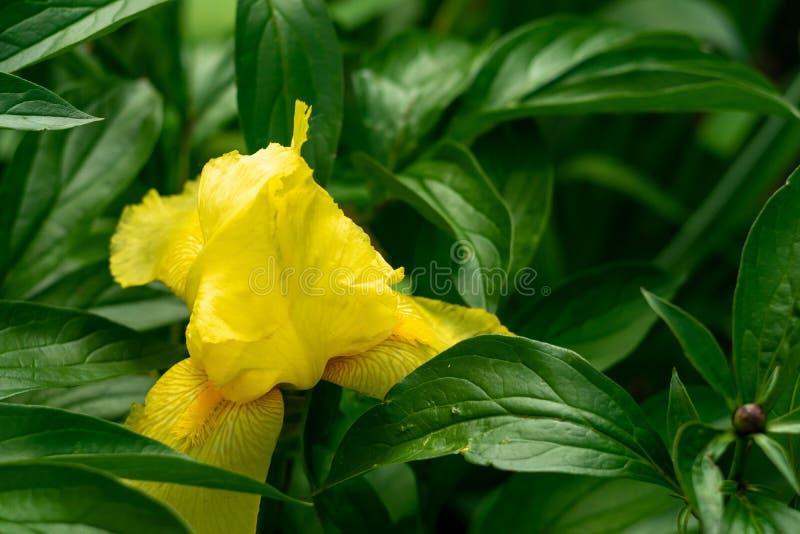 Flor amarilla del iris entre las hojas verdes de la peonía La flor crece en el jardín fotografía de archivo libre de regalías