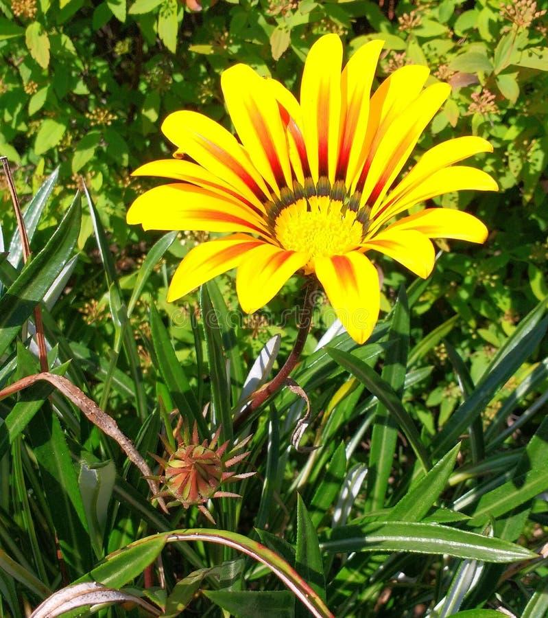 Flor amarilla del jardÃn, κολλοειδές διάλυμα Al mirando στοκ εικόνα
