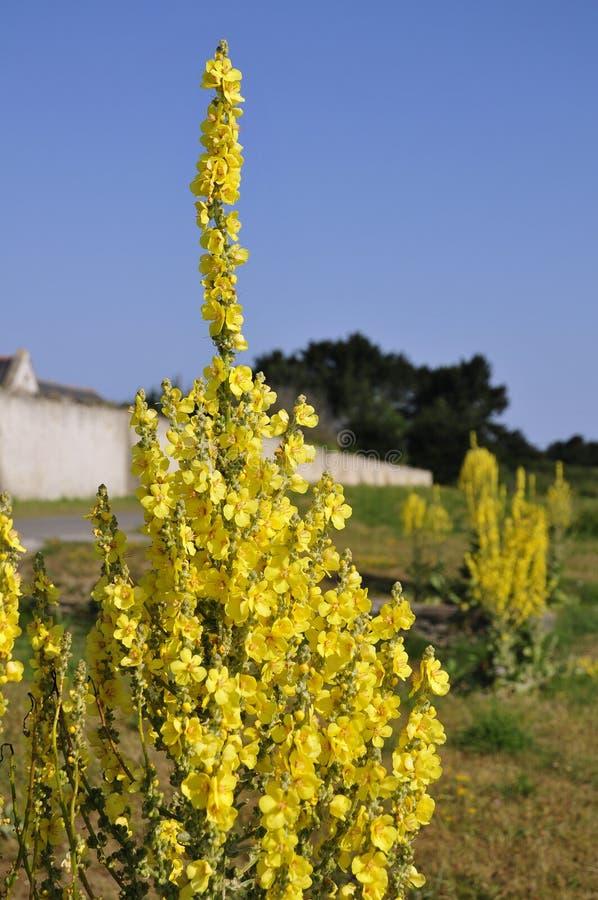 Flor amarilla del mullein imagen de archivo
