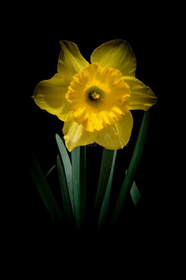 Flor amarilla del narciso en la oscuridad imagenes de archivo