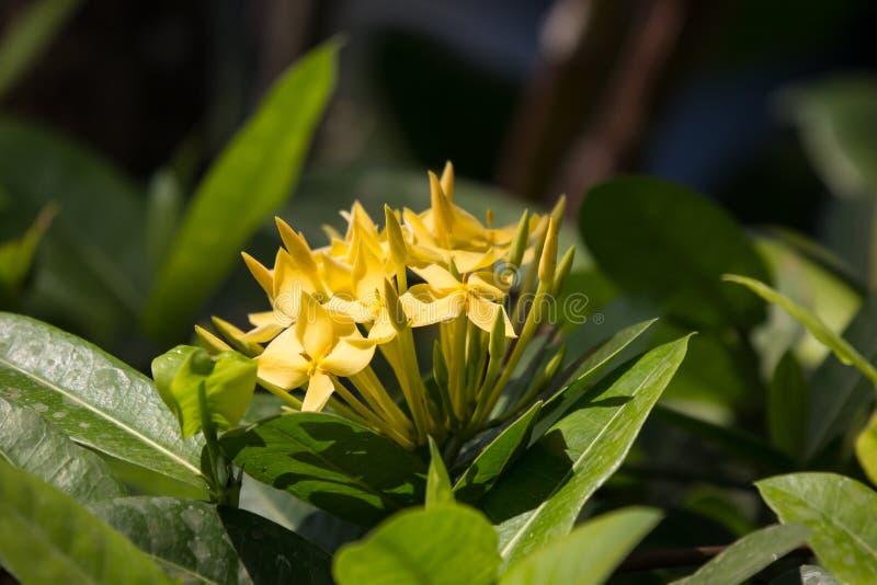 Flor amarilla del Plumeria y libélula negra imagenes de archivo