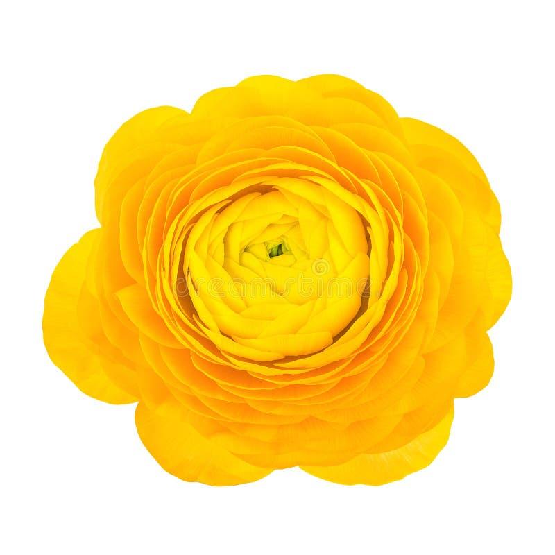Flor amarilla del ranúnculo fotografía de archivo