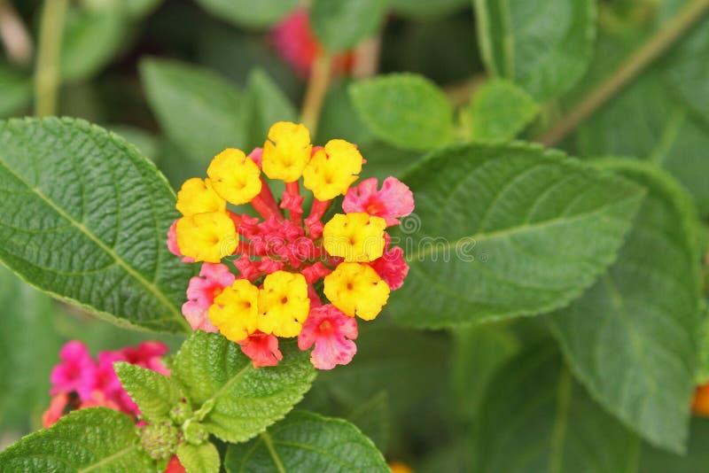 Flor amarilla del seto, camara del Lantana imagenes de archivo