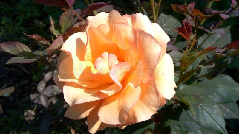 Flor amarilla domingo de oro imagen de archivo libre de regalías