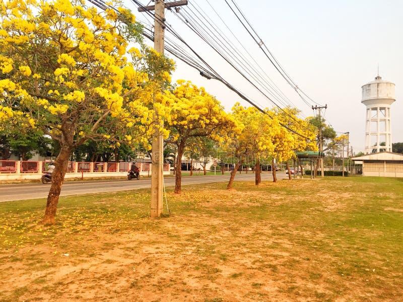 Flor amarilla en el árbol de trompeta de la plata del jardín fotografía de archivo