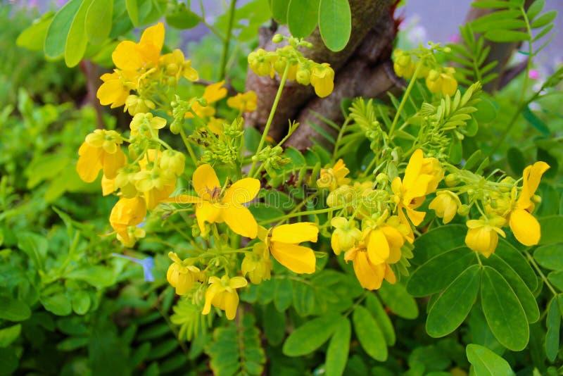 Flor amarilla en el parque de Lumpini en Bangkok, Tailandia fotografía de archivo libre de regalías