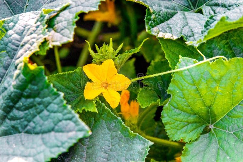 Flor amarilla en hojas verdes del pepino fotos de archivo libres de regalías