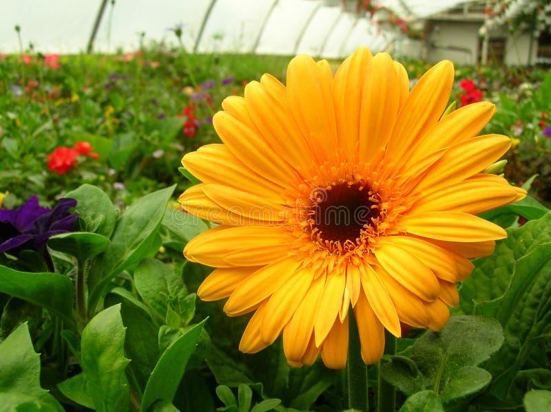 Flor amarilla en invernadero imagenes de archivo