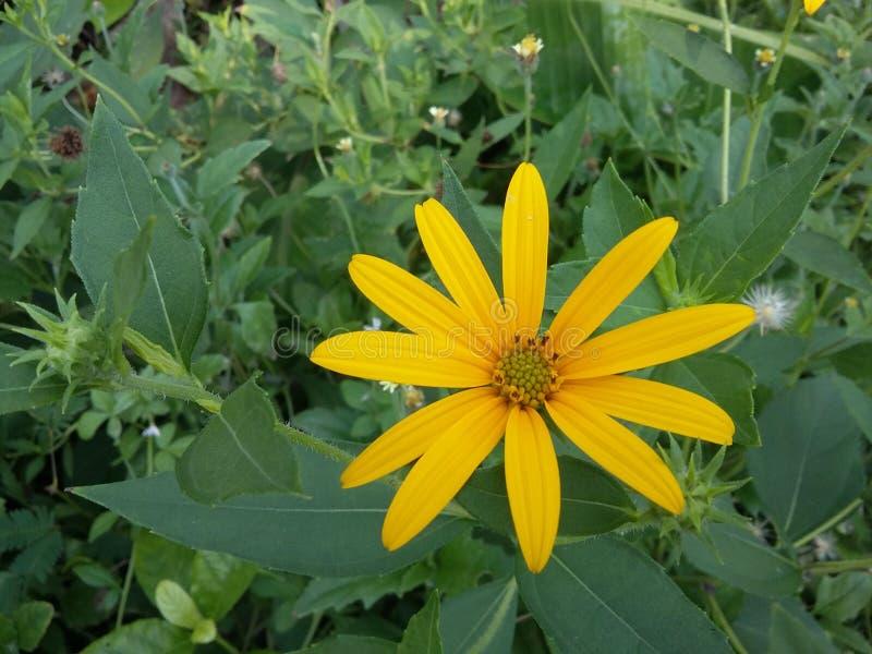 Flor amarilla en jardín fotografía de archivo libre de regalías