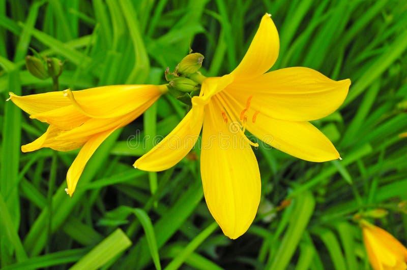 Flor amarilla en la hierba fotografía de archivo