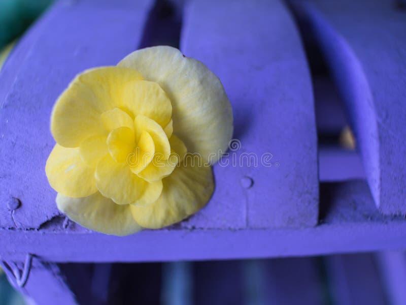Flor amarilla en la púrpura de madera foto de archivo libre de regalías