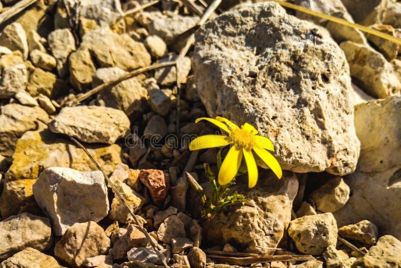 Flor amarilla en piedras imagen de archivo
