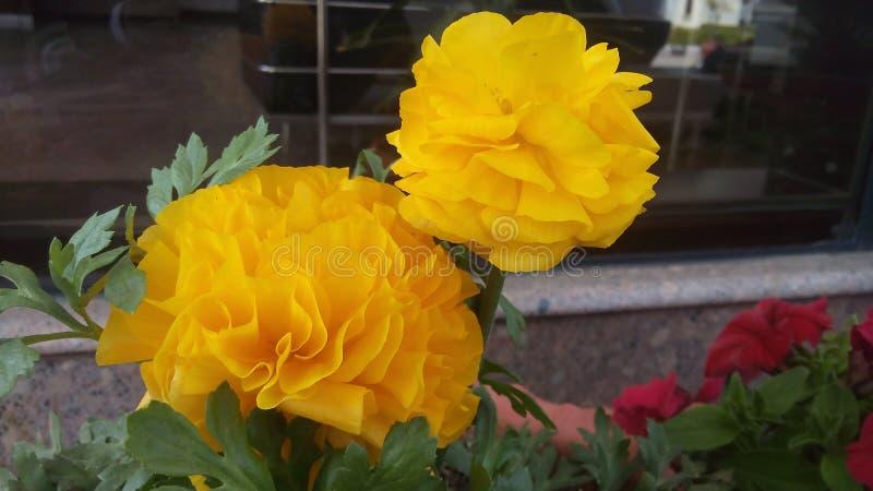 Flor amarilla en pote fotos de archivo