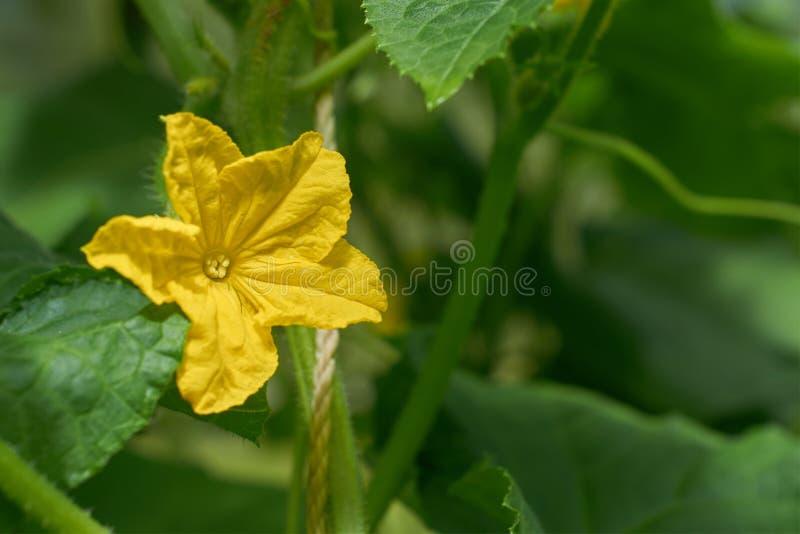 Flor amarilla grande del pepino en el fondo de hojas verdes imagen de archivo