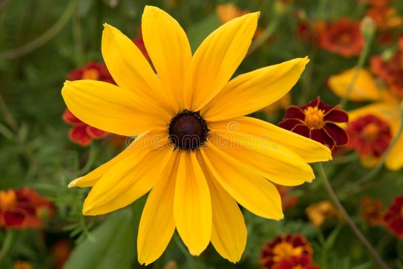 Flor amarilla grande del Rudbeckia imagenes de archivo
