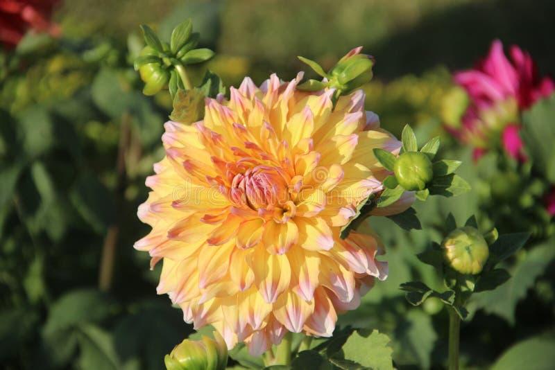 Flor amarilla hermosa imagen de archivo libre de regalías