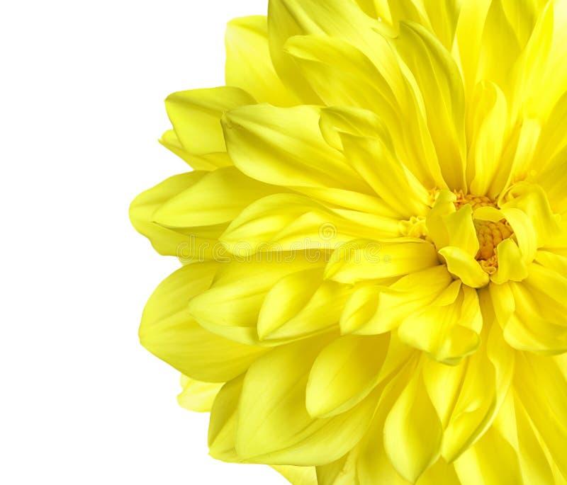 Flor amarilla hermosa de la dalia en el fondo blanco fotos de archivo