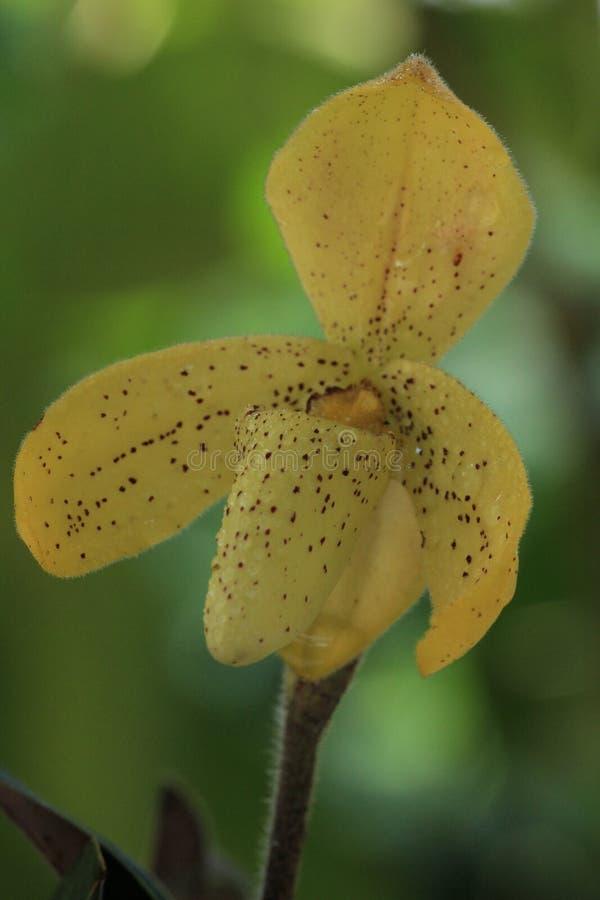Flor amarilla hermosa de la orquídea del concolor del Paphiopedilum foto de archivo libre de regalías
