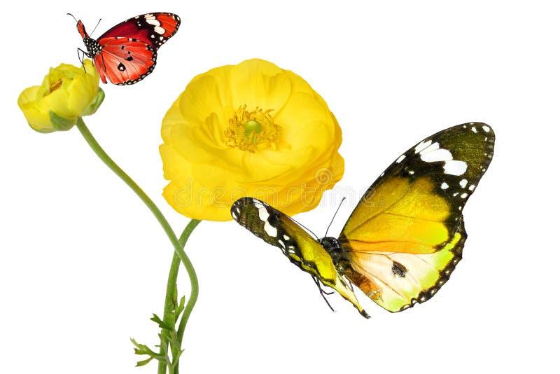 Flor amarilla hermosa de un ranúnculo del jardín y de mariposas coloridas foto de archivo libre de regalías
