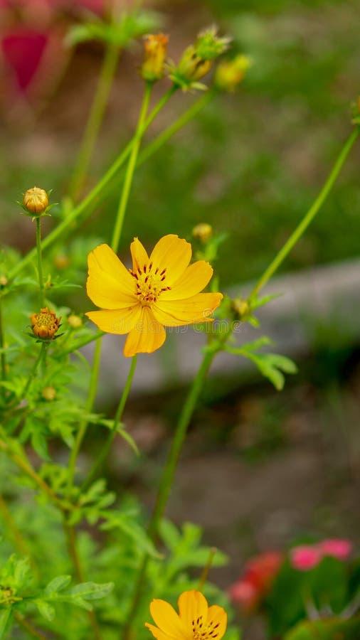 Flor amarilla hermosa del cosmos fotografía de archivo