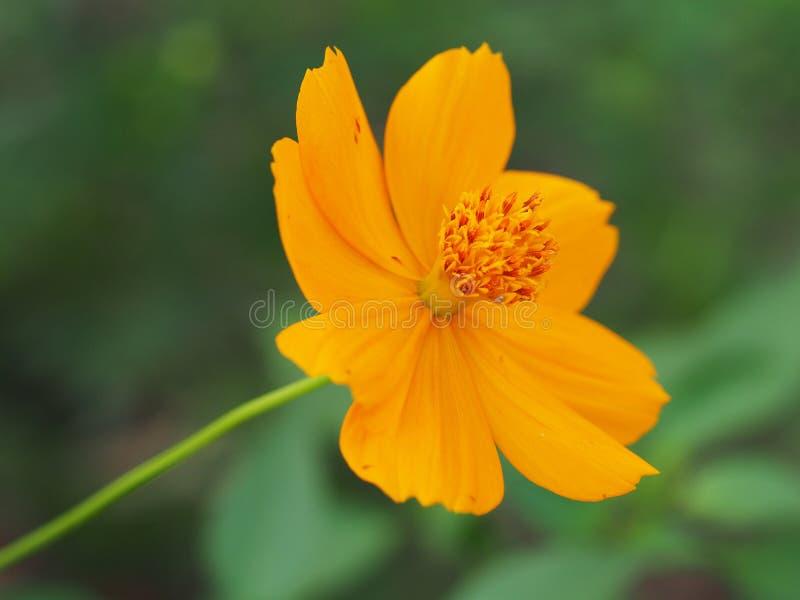 Flor amarilla hermosa del cosmos fotos de archivo libres de regalías