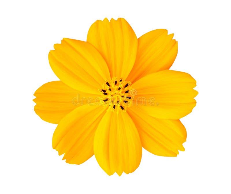Flor amarilla hermosa del cosmos aislada en el fondo blanco con la trayectoria de recortes foto de archivo