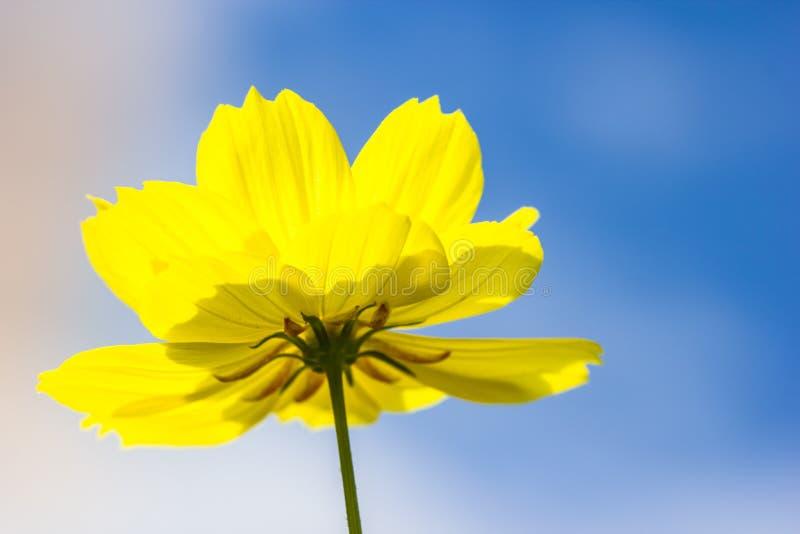 Flor amarilla hermosa del cosmos en fondo del cielo fotos de archivo