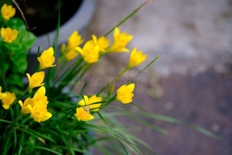 Flor amarilla hermosa en Tailandia Asia fotos de archivo libres de regalías