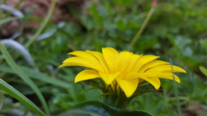 Flor amarilla hermosa para el fondo fotografía de archivo