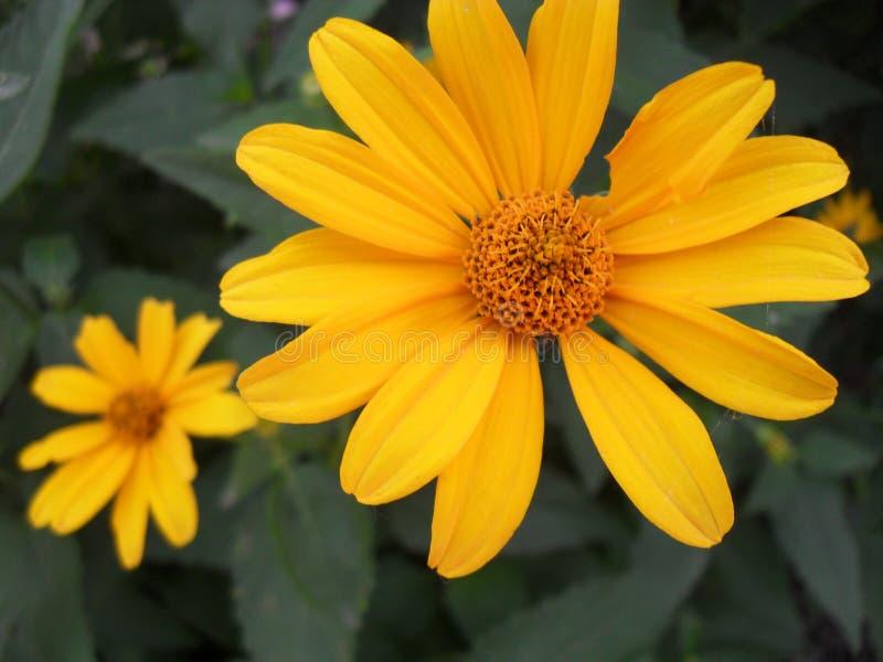 Flor amarilla maravillosa fotografía de archivo