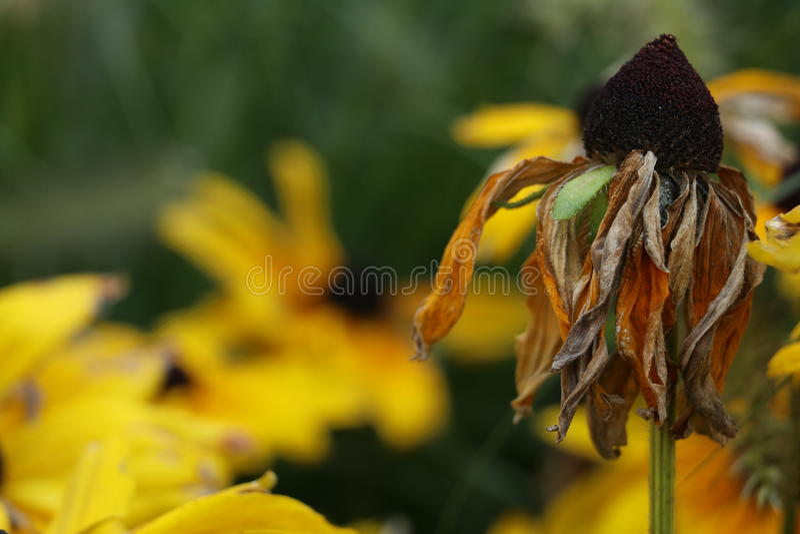 Flor amarilla muerta foto de archivo libre de regalías