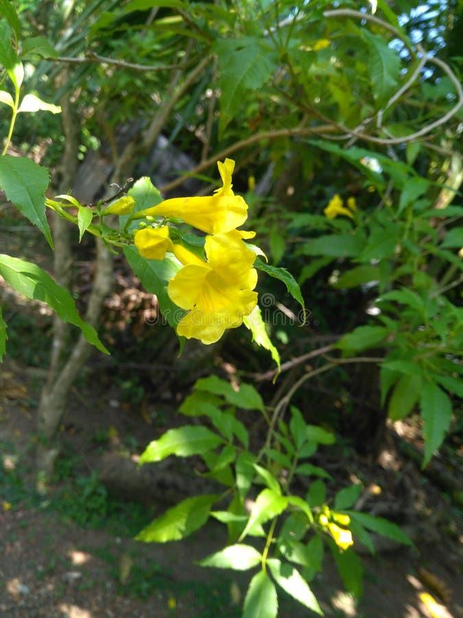 Flor amarilla natural de Sri Lanka imagenes de archivo