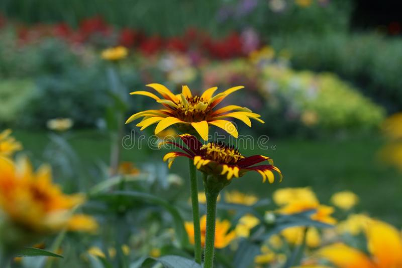 Flor amarilla pacífica fotos de archivo libres de regalías