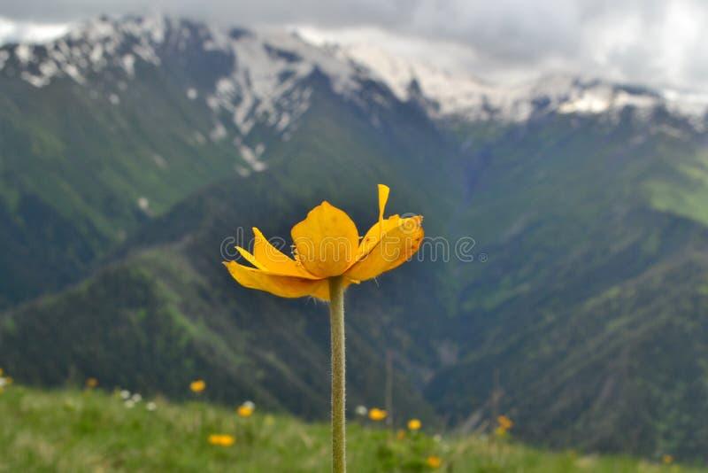 Flor amarilla rodeada por los picos de montaña foto de archivo