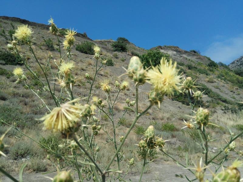Flor amarilla solitaria hermosa que se baña en el rayo del sol, creciendo cerca de una roca foto de archivo libre de regalías