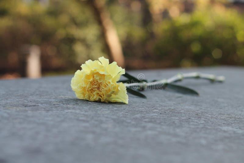 Flor amarilla suave fotos de archivo libres de regalías