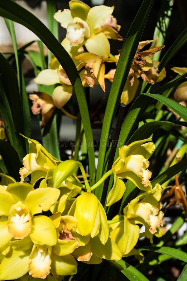Flor amarilla tropical que florece, innocentii del nidularium del Brasil foto de archivo