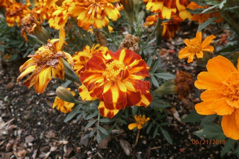 Flor amarilla y anaranjada foto de archivo