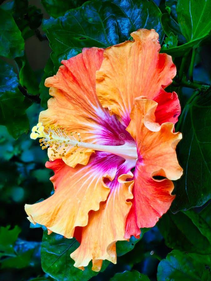 Flor amarilla y anaranjada brillante del hibisco imagen de archivo libre de regalías