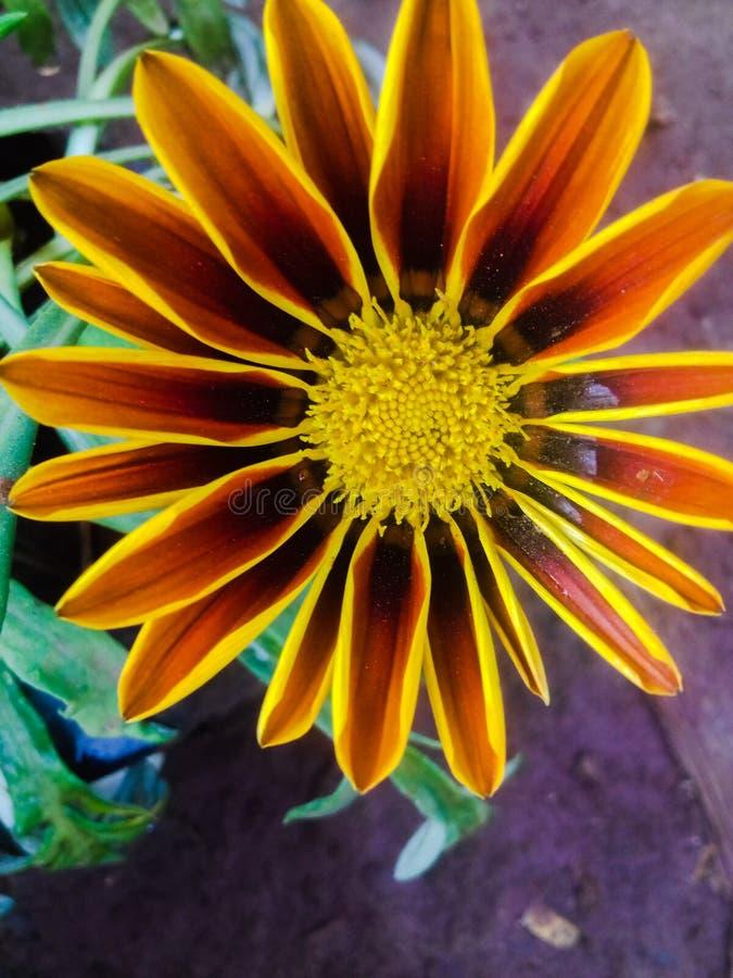 Flor amarilla y anaranjada del Gazania con el centro amarillo imagenes de archivo
