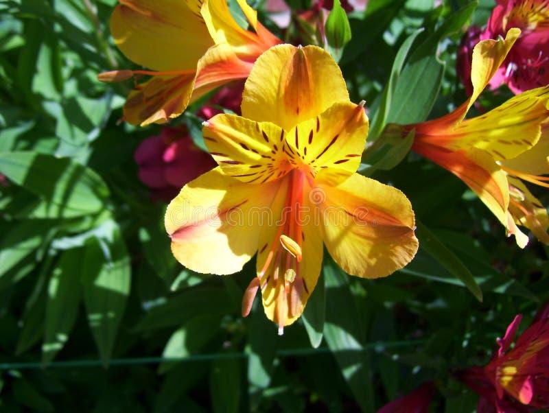 Flor amarilla y anaranjada del lirio peruano del color foto de archivo libre de regalías