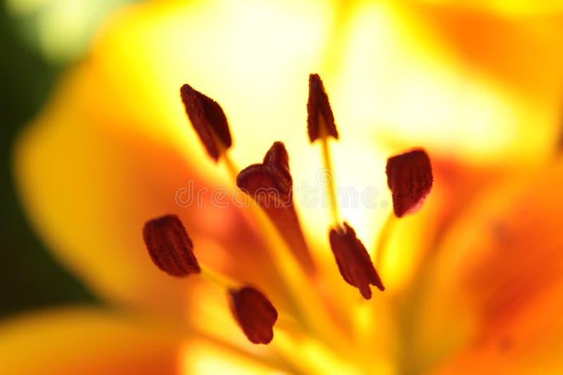 Flor amarilla y anaranjada macra del lirio fotos de archivo