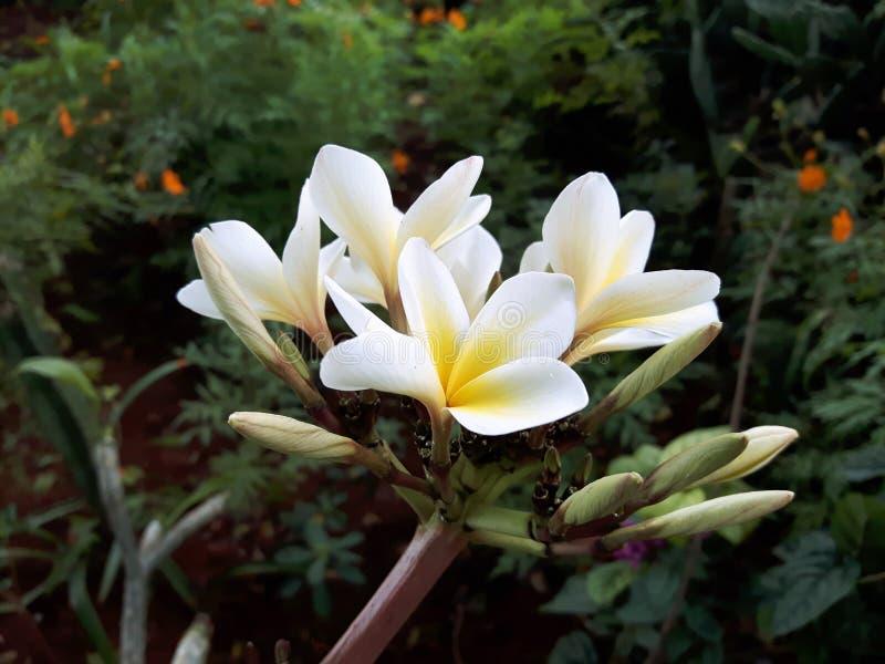 Flor amarilla y blanca fotografía de archivo