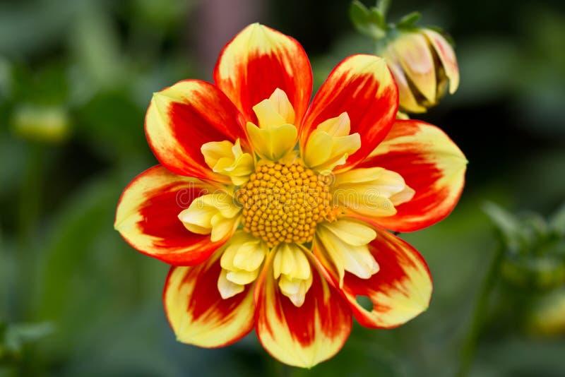Flor amarilla y roja fotografía de archivo libre de regalías