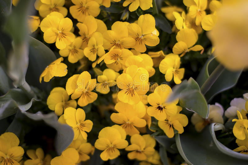 Flor amarillo de la flor foto de archivo